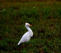 Young Cattle Egret  0742