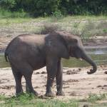 """""""Lone Elephant"""" by MalikDegri"""