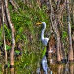 """White Heron in the Great Cypress"" by NjordPhotography"
