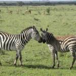 """Zebra affection"" by susani"