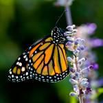 """""""Back-lit Monarch Butterfly"""" by OGphoto"""
