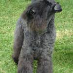 """Kerry Blue Terrier"" by AnimalMagnatism"
