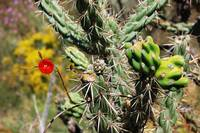 Red Flower - Cholla Cactus