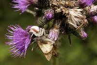 Spider, Moth and Thistle