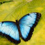 """Blue Morpho Butterfly (Morpho peleides)"" by OGphoto"