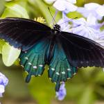 """Pipevine Swallowtail (Battus Philenor)"" by OGphoto"