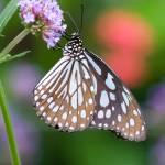 """Blue Tiger Butterfly (Tirumala hamata)"" by OGphoto"