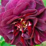 """""""Purple carnation"""" by adiener"""