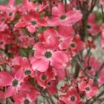 """Pink Dogwood Tree"" by jimmylish"