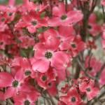 """""""Pink Dogwood Tree"""" by jimmylish"""