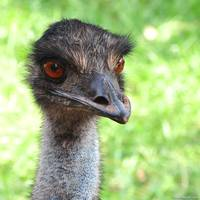 Emu Head Shot