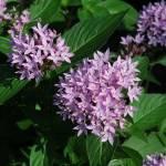 """Purple Flowers"" by ctoby5"