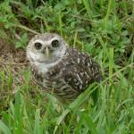 """Burrowing Owl"" by imagesbyrosela"