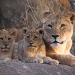 """""Nemesis"" and her cubs"" by SamAntonios"