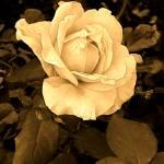 """Sepia Rose 3"" by Corbett"