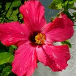 """""""red hibiscus"""" by traciebrownart"""