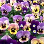 """pansies"" by traciebrownart"