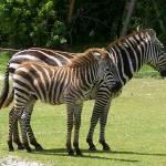 """""""zebras"""" by traciebrownart"""