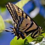 """""""Yellow and Black butterfly"""" by kcline"""