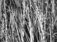 Sea Grass in Black and White
