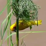 """Weaver Bird"" by higher-road"