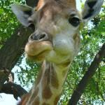"""Giraffe"" by higher-road"