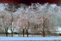 Winter Trees 5