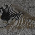 """Let Sleeping Zebras Like (Chalk/Charcoal)"" by thefirestarter"