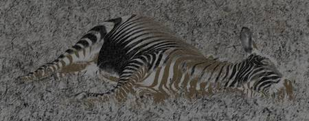 Let Sleeping Zebras Like (Chalk/Charcoal)