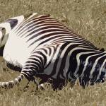 """Let Sleeping Zebras Lie (Cutout)"" by thefirestarter"