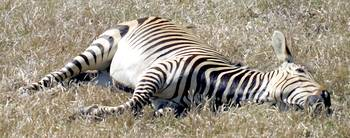 Let Sleeping Zebras Lie (in Oil)