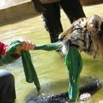 """""""Taming Tigers"""" by LifeMastersTeamwork"""