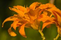 Sun Scorched Lily