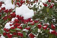 Cotoneaster in Winter