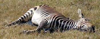 Let Sleeping Zebras Lie