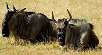 Wildebeest Relaxing