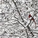"""""""Red Bird in Snow"""" by SusanPszenitzki"""