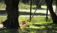 Cheetah Relaxing