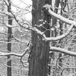 """""""Snowy Branches"""" by SusanPszenitzki"""