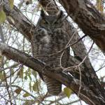 """Great Horned Owl"" by jimmylish"