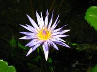 Lilac Water Lily