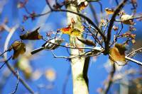 Songbird on maple tree