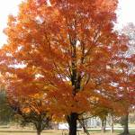 """Sugar Maple Tree"" by LaBoure"