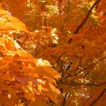 """""""Sunlit Leaves in Fall"""" by LaBoure"""