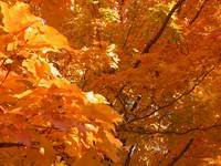 Sunlit Leaves in Fall