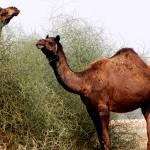 """""""camel10"""" by pravine"""
