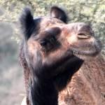"""""""camel11"""" by pravine"""