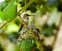 Rufous hummingbird family