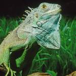 """Green Iguana Lizard Pet"" by kphotos"