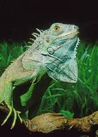 Green Iguana Lizard Pet